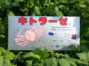 [送料無料]【キトラーゼ】1箱蟹殻から高純度キトサンを水で溶かし原液を作るタイプです。原液を希釈して散布し作物の病気予防として、…