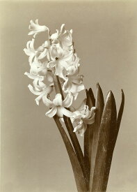 【50x70】【A3/29.7x42cm】 ポスター 北欧 Design Rail 【 Hyacinthus 】 ヒヤシンス おしゃれ インテリア モノトーン 送料無料
