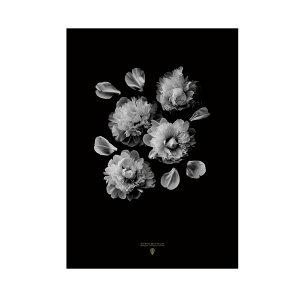 Coco Lapine design ポスター 北欧 【ココラパンデザイン】Paeonia Officinalis 芍薬 シャクヤク 花 シンプル カフェ モノトーン アートプリント 50x70cm インテリア