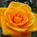 【予約販売】バラ苗 2年大株苗ティアモコシ 切り花用 4号鉢【11月中旬以降、順次出荷予定】