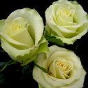 【予約販売】バラ苗 2年大株苗プリンセス ラーラサルマ 切り花用 4号鉢【11月中旬以降、順次出荷予定】