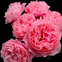 【予約販売】バラ苗 2年大株苗エンジェルフレグランス《天使の香》 切り花用 4号鉢【11月中旬以降、順次出荷予定】