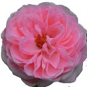 バラ苗 2年大株苗エンジェルフレグランス《天使の香》 切り花用 4号鉢