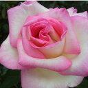 【予約販売】2020春 花芽付きバラ苗 2年大株苗プリンセスドゥモナコ 大輪 6号鉢【花芽が付き次第、順次出荷予定】
