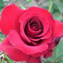 バラ苗 2年大株苗ドゥフトツァウバー 大輪 6号角鉢入り◆植え替えせずに春のお花が楽しめます♪