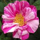 【予約販売】バラ苗 2年大株苗 ロサムンディ オールドローズ 4号鉢 【11月中旬以降、順次出荷予定】