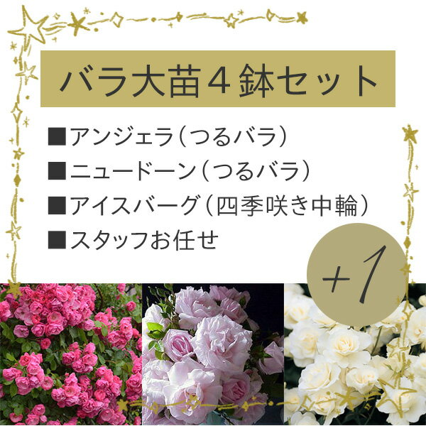 春色のバラ4品種の特別セット「アンジェラ」「ニュードン」「アイスバーグ」が必ず入る!大苗バラ4鉢セット バラ苗/数量限定/1品種はスタッフおまかせです!何が届くかお楽しみに
