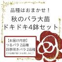 品種はおまかせ!秋のバラ大苗ドキドキ4鉢セット(つるバラ2品種、四季咲きバラ2品種)