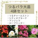 秋のバラフェア つるバラ大苗4鉢セット(つるチャールストン、シティオブヨーク、アンジェラ、ローブリッター)