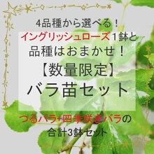 4品種から選べる!イングリッシュローズ1鉢とおまかせつるバラと四季咲きバラ苗3鉢セットバラ苗