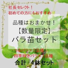 【数量限定】品種は社長おまかせ!初めての方にもおすすめのバラ大苗4鉢セット(つるバラ2品種、四季咲きバラ2品種)