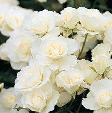 【アウトレット】苗Bバラ苗アイスバーグ6号スリット鉢フロリバンダ(FL)四季咲き中輪白系