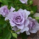 バラ苗 爽(そう)国産新苗4号鉢 四季咲き中輪 紫系 河本バラ園