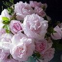 バラ苗 ニュードーン 国産大苗6号スリット鉢つるバラ(CL) 四季咲き ピンク系