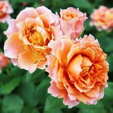 バラ苗【モルゲンロート】大苗7号専用角鉢入オレンジ系RoseforYou