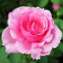 バラ苗【ロゼパルファム】大苗7号専用角鉢入ピンク系RoseforYou