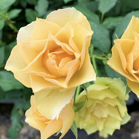 バラ苗 【琥珀 (コハク)】新苗4号専用角鉢入 黄色系 Rose for You (購入特典 ぼかし肥料1kg付き)