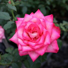 【秋のバラフェア数量限定セール】バラ苗 【都(みやこ)】 大苗7号専用角鉢入 複色系 Rose for You (購入特典 ぼかし肥料1kg付き)