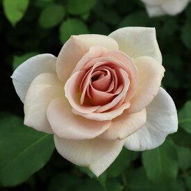 バラ苗 【スイートチョコ】 大苗7号専用角鉢入 ブラウン系 Rose for You (購入特典 ぼかし肥料1kg付き)