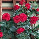 【アウトレット】苗B バラ苗 レッドニュードーン 国産大苗6号スリット鉢四季咲き つるバラ(CL) 赤系