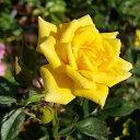 予約苗 バラ苗 グッドアズゴールド 国産大苗6号スリット鉢返り咲き小輪 つるバラ(CL) 黄色系(ワーナーズローゼス)【20…
