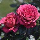 予約苗 バラ苗 ヴィウーローズ 国産大苗デルバールオリジナル角鉢6号 四季咲き大輪 赤紫系 フレンチローズ(デルバー…