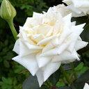 予約苗 バラ苗 クレムドゥメイアン 国産大苗6号スリット鉢 ハイブリッドティー (HT) 四季咲き大輪 白系【2021年2月上…