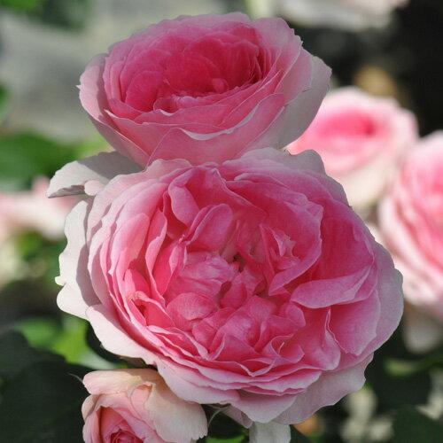 バラ苗 エルミタージュ 国産大苗6号スリット鉢 フロリバンダ(FL) 四季咲き中輪 ピンク系 フランス ニルプ