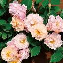 【アウトレット】苗B バラ苗 コーネリア 苗6号スリット鉢 つるバラ(CL) 返り咲き ピンク系