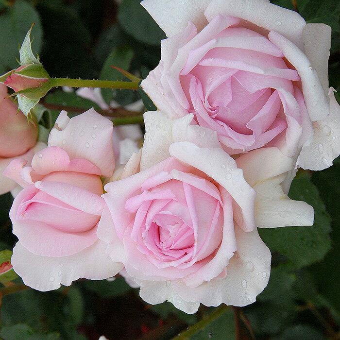 バラ苗 フレグラントヒル 国産大苗6号スリット鉢 ハイブリッドティー(HT) 四季咲き大輪 ピンク系