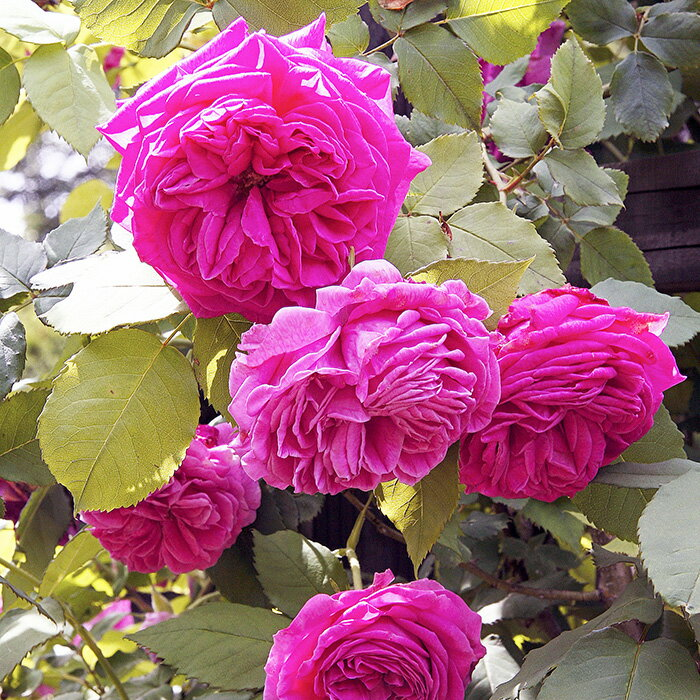 【アウトレット】苗B バラ苗 マダムイサークペレール 6号スリット鉢 つるバラ 返り咲き ピンク系 オールドローズ(ブルボンローズ)