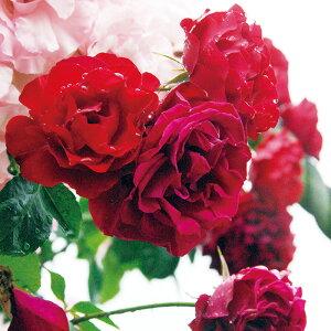 【アウトレット】苗B バラ苗 ダブリンベイ 6号スリット鉢 つるバラ四季咲き 赤系