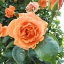 バラ苗 ロイヤルサンセット 国産新苗4号ポリ鉢つるバラ(CL) 四季咲き オレンジ系