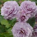 予約苗 バラ苗 ノヴァーリス 国産大苗6号スリット鉢ハイブリッドティー(HT) 四季咲き大輪 紫系【2021年2月上旬順次配…