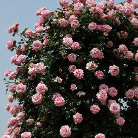 【アウトレット】苗B バラ苗 羽衣(はごろも) 6号スリット鉢つるバラ(CL) 四季咲き ピンク系