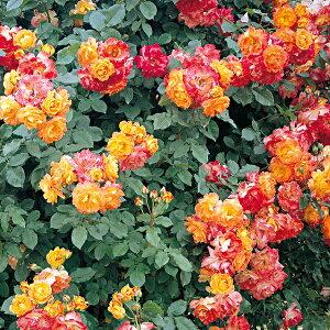 バラ苗 ふれ太鼓 国産新苗植え替え6号スリット鉢 つるバラ(CL) 四季咲き 複色系