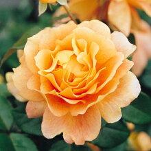 バラ苗万葉(まんよう)国産大苗6号スリット鉢フロリバンダ(FL)四季咲き中輪オレンジ系