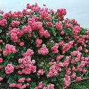 【アウトレット】苗B バラ苗 ラビィーニア 6号スリット鉢つるバラ(CL) 四季咲き ピンク系