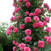 バラ苗つるバラつるレオナルドダビンチ大苗6号鉢返り咲き中輪ピンク系【12月〜順次発送となります。】