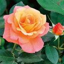 バラ苗 アンネのバラ(スブニールドアンネフランク) 国産新苗4号ポリ鉢フロリバンダ(FL) 四季咲き中輪 オレンジ系