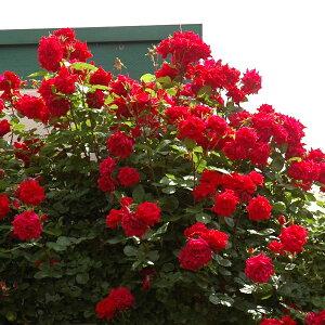 【アウトレット】苗B バラ苗 アンクルウォルター 6号スリット鉢 つるバラ(CL) 四季咲き 赤系