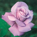 バラ苗 シャルルドゴール 国産新苗4号ポリ鉢ハイブリッドティー(HT) 四季咲き大輪 紫系