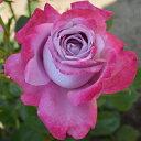 バラ苗 ブルーリバー 国産新苗4号ポリ鉢ハイブリッドティー(HT) 四季咲き大輪 紫系