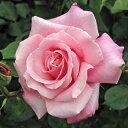 予約苗 バラ苗 桃香(ももか) 国産大苗6号スリット鉢ハイブリッドティー(HT) 四季咲き大輪 ピンク系【2021年2月上旬…
