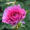 バラ苗 シェエラザード 国産新苗4号鉢 四季咲き大輪 ピンク系 ロサ オリエンティス