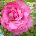 バラ苗 イブピアッチェ 国産新苗4号ポリ鉢ハイブリッドティー(HT) 四季咲き大輪 ピンク系