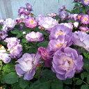 バラ苗 ブルーフォーユー 国産大苗6号スリット鉢フロリバンダ(FL) 四季咲き中輪 紫系