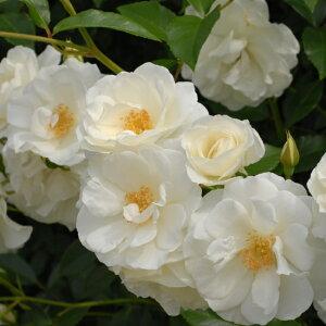 バラ苗つるアイスバーグ国産大苗6号スリット鉢つるバラ(CL)返り咲き中輪白系