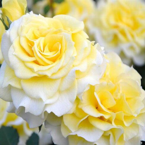 バラ苗 ラ・ルーチェ 国産大苗6号角鉢 四季咲き 黄色系(ローズなかしま)