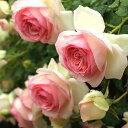 【アウトレット】苗B バラ苗 ピエールドゥロンサール 6号スリット鉢つるバラ(CL) 返り咲き 複色系
